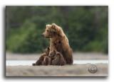 Alaska Brown Bear Family.jpg
