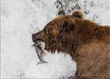 Alaska Brown Bear Snack.jpg