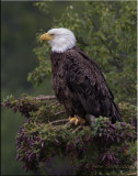 Bald Eagle Alaska.jpg