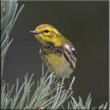 Black- throated Green Warbler .jpg