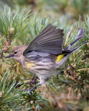 Yellow-rumped Warbler .jpg