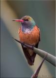Amazonia Humming Bird.jpg