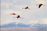 Chilean Flamingoes flying over the Andes.jpg