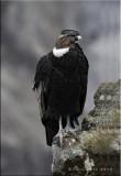 Andean Condor (male).jpg