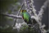 Golden Headed Quetzal.jpg