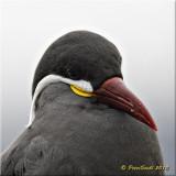 Inka Tern.jpg
