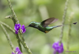Booted Racket-tail hummer.jpg