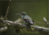 White Bellied Hummingbird.jpg