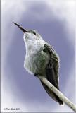 Green and White Hummingbird 1.jpg