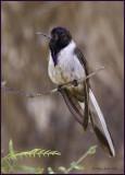 Bearded Mountaineer Hummingbird.jpg