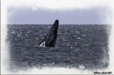 Humpback whale .jpg