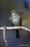 White throated Sparrow.jpg