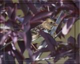 Harris Sparrow.jpg