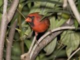 Northern Cardinal peeking.jpg