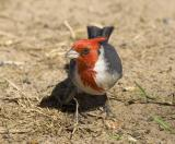 Red Crested Cardinal on ground.jpg