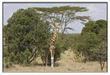 Reticulated Giraffe.jpg