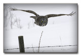 Great grey over the fence.jpg