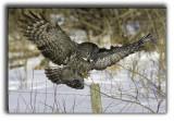 Great grey full wing span post landing.jpg