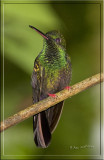 Red- footed plumeleteer .jpg