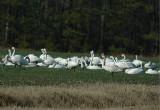 Tundra 'Whistling' Swan (Cygnus columbianus)