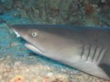 White Tip Reef Shark - Pentagon
