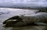 Gray Whale on Pebble Beach