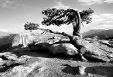THE Jeffrey Pine, Glacier Point, Yosemite