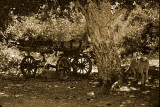 Wagon and Resting Sheep