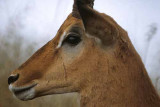 Profile of an Antelope