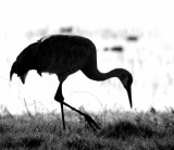 Grazing Sandhill Crane