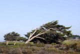 Wind Pruned Cypress