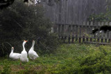 Mildred's Geese