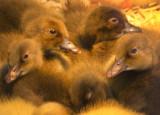 Sweet Duckies