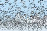 Blast Off of Snow Geese