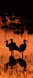 Sandhill Crane Famly at Sunset