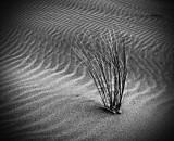 Dune Grasses BW