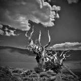 Bristle cone remains; White Mountains