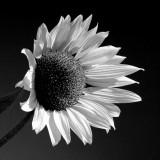 Sunflower EFX