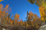 A Walk in the Aspens