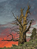 White Mountains Bristlecone Pines