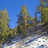 Snowline - Schulman Grove