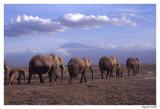 Elephant Amboselli et Kili