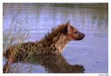Hyène bain