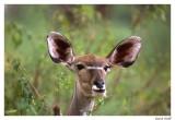 koudou oreille