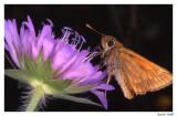 Papillon nocturne sur fleur