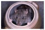 Rat surpris