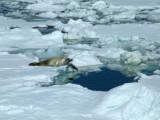 Crabeater Seal - Port Lockroy Antarctic Peninsula.JPG