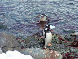 Gentoo penguins - Danco Island.JPG