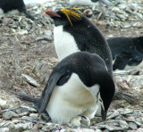Chinstrap Penguin - Hannah Point.JPG