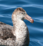 Giant petrel - Hercules Bay South Georgia.JPG